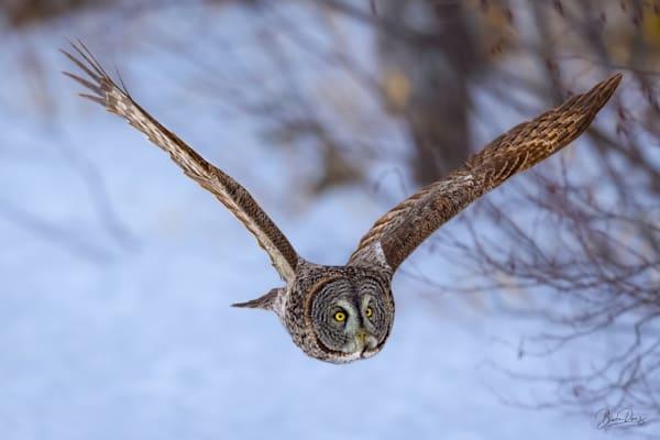 Great Gray Owl Encounter