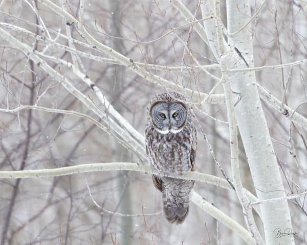 Great Gray Owl in the Poplars