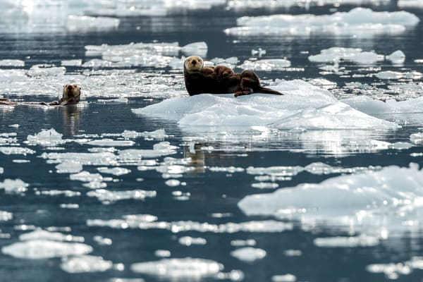 Sea Otters on ice bergs in Prince William Sound            Photo by Jeff Schultz/SchultzPhoto.com  (C) 2018     ALL RIGHTS RESERVED