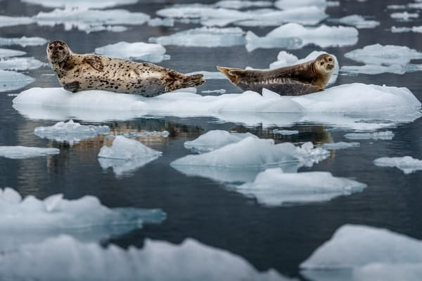 Harbor Seals sit on ice berg near Barry Glacier in Harriman Fjord of Prince William Sound. Alaska   Photo by Jeff Schultz/SchultzPhoto.com  (C) 2018     ALL RIGHTS RESERVED