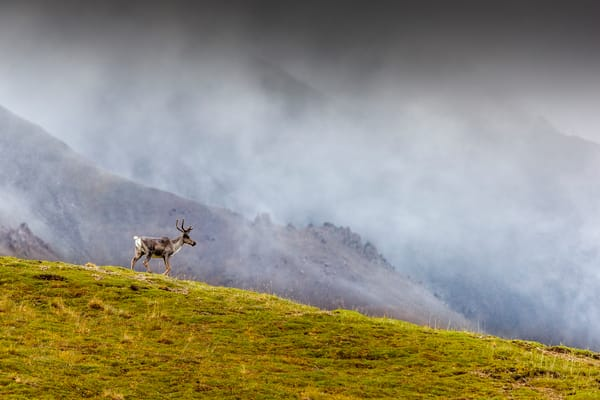 Caribou cow walks on ridge of tundra with clouds and mountains in background in Denali National Park, Alaska  Summer  Photo by Jeff Schultz/SchultzPhoto.com  (C) 2018  ALL RIGHTS RESERVED  Amazing Views-- Into the wild photo tour 2018