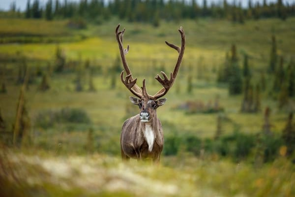 Bull caribou with velvet on antlers on tundra in Denali National Park, Alaska  Summer  Photo by Jeff Schultz/SchultzPhoto.com  (C) 2018  ALL RIGHTS RESERVED  Amazing Views-- Into the wild photo tour 2018