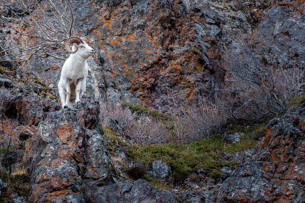 Dall Sheep ram rocky cliffs during mating season.  Chugach State Park in Chugach Mountains at Windy Corner area along Seward Highway in Southcentral,  Alaska in winter.    Photo by Jeff Schultz/SchultzPhoto.com  (C) 2018  ALL RIGHTS RESERVED