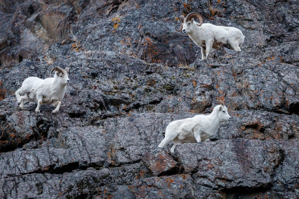 Two Dall Sheep rams court a ewe on cliffs during mating season  in Chugach Mountains.  Chugach State Park at Windy Corner area along Seward Highway in Southcentral,  Alaska in winter.    Photo by Jeff Schultz/SchultzPhoto.com  (C) 2018  ALL RIGHTS