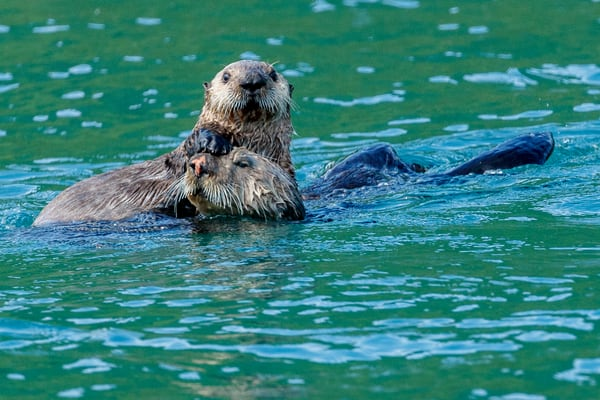 Sea otter mother and pup swims in Kukak Bay along Katmai Coast in Katmai National Park.  Western Alaska    Photo by Jeff Schultz/  (C) 2019  ALL RIGHTS RESERVED  Amazing Views 2019 June Summer Bears, Marine wildlife, glaciers, landscape  Tour/w