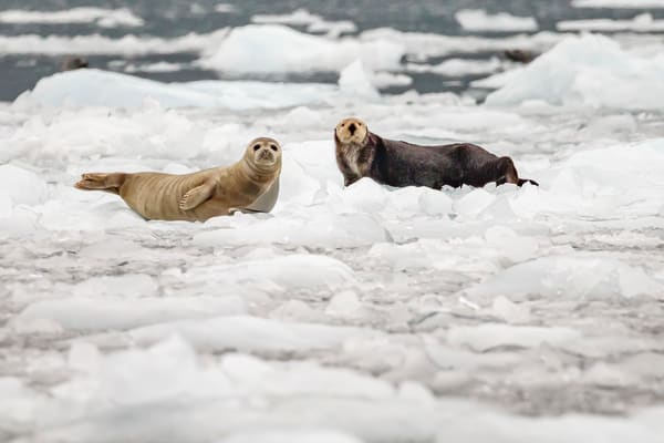 Harbor seals and sea otther on ice bergs in Barry Arm at Barry Glacier in Prince William Sound.  Summer, Alaska   Wildlife   Photo by Jeff Schultz/  (C) 2019  ALL RIGHTS RESERVED