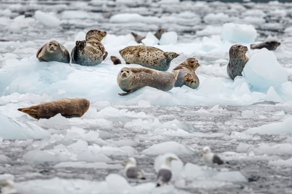 Harbor seals on ice bergs in Barry Arm at Barry Glacier in Prince William Sound.  Summer, Alaska   Wildlife   Photo by Jeff Schultz/  (C) 2019  ALL RIGHTS RESERVED
