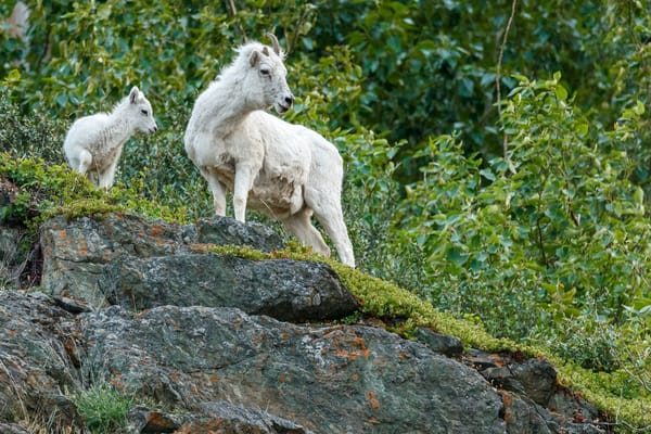 Dall sheep mother and lamb on rock cliff at Windy Corner area of Chugach Mountains south of Anchorage, Alaska.  Summer   Photo by Jeff Schultz/  (C) 2019  ALL RIGHTS RESERVED  Amazing Views 2019 June Summer Bears, Marine wildlife, glaciers, lan
