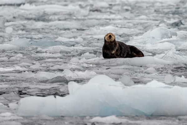 Sea Otter rests on ice berg in Barry Arm at Barry Glacier in Prince William Sound.  Summer, Alaska   Wildlife   Photo by Jeff Schultz/  (C) 2019  ALL RIGHTS RESERVED