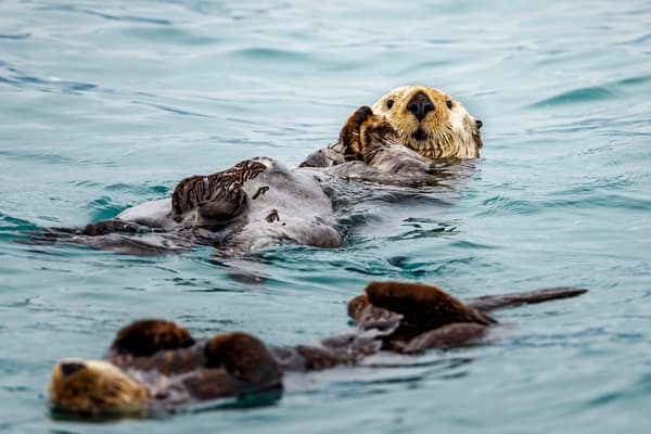 A raft of sea otters float in Prince William Sound.  Summer, Alaska   Wildlife   Photo by Jeff Schultz/  (C) 2019  ALL RIGHTS RESERVED