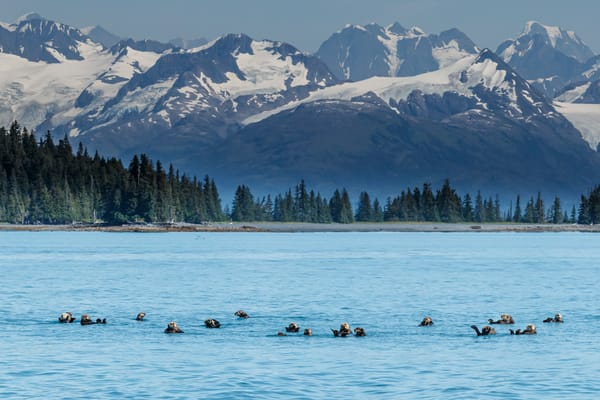 Sea Otters with Chugach Mountains in Port Wells of Prince William Sound. Southcentral, Alaska summer