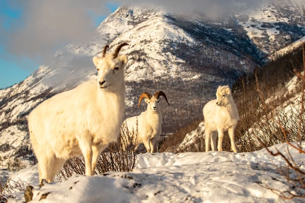 Dall sheep ewe, lamb, ram forage for food in fresh snow in Chugach Mountains. Winter Southcentral, Alaska   Photo by Jeff Schultz/  (C) 2020  ALL RIGHTS RESERVED