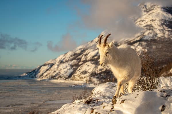 Dall sheep ewe walks along a ridgeline in fresh snow above Turnagain Arm with the Chugach Mountains in background in Chugach State Park. Winter Southcentral, Alaska   Photo by Jeff Schultz/  (C) 2020  ALL RIGHTS RESERVED