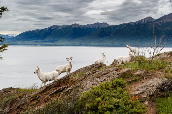 Dall sheep ewes and lambs feed on mineral deposits on cliffs of Chugach Mountains in Chugach State Park along Seward Highway in Southcentral, Alaska  Summer  Photo by Jeff Schultz/  (C) 2020  ALL RIGHTS RESERVED