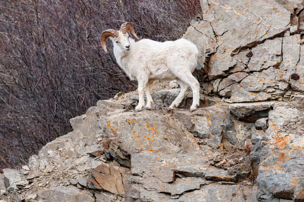A full-curl Dall Sheep ram on cliff in Chugach State Park, Alaska.  Winter rut season  Photo by Jeff Schultz/  (C) 2020  ALL RIGHTS RESERVED