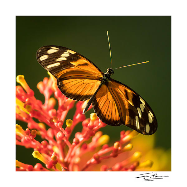 Costa Rican butterfly print for your wall.