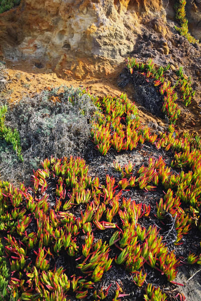 Ice Plant And Cliff Art | Patrick Cosgrove Art and Photography