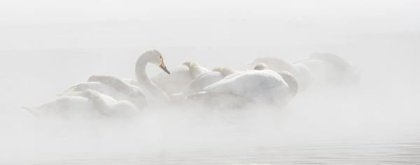 Morning Slumber, Whooper Swans Hokkaido, Japan