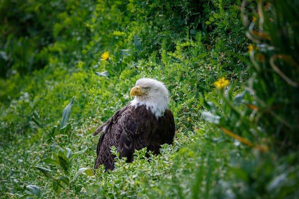 Eagle Grass
