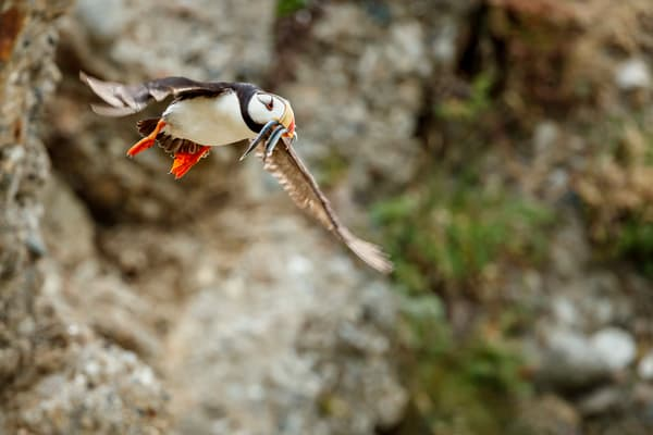 Puffin Meal Flight