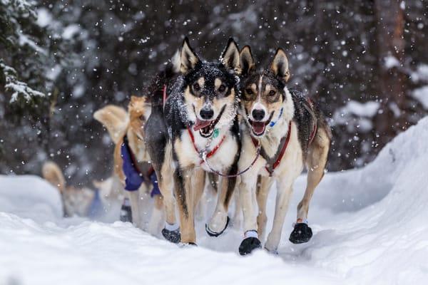 Mushing through the Falling Snow