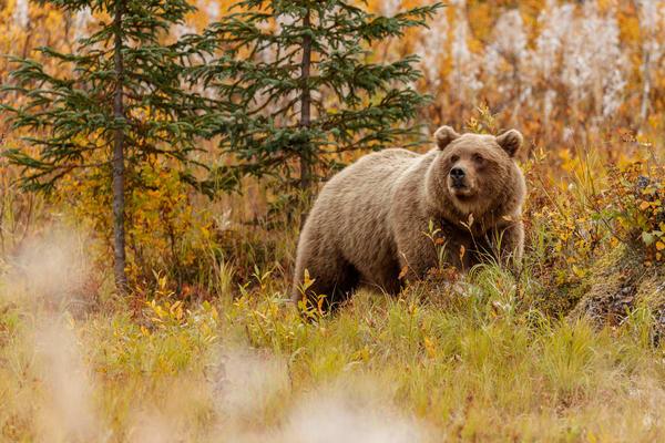 Brown Bear, Autumn
