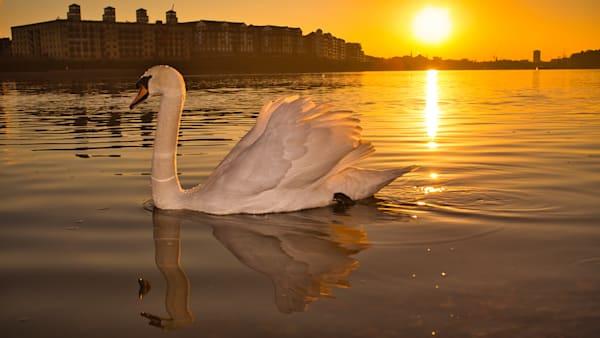 On Setting Swan Art   Martin Geddes Photography