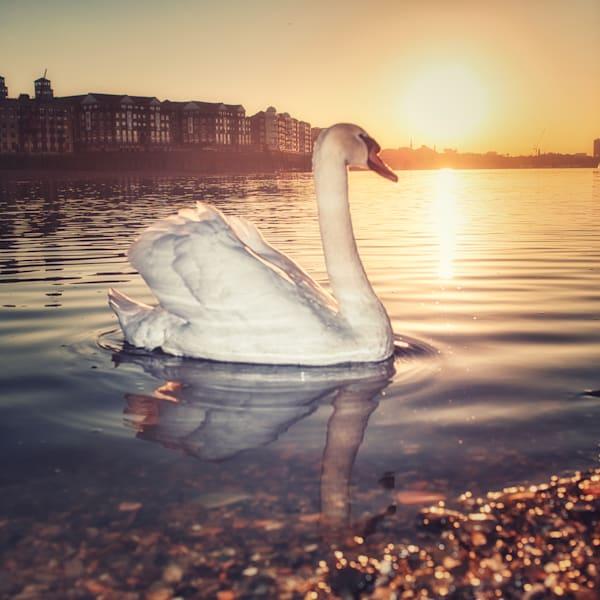 Square Swan Art   Martin Geddes Photography