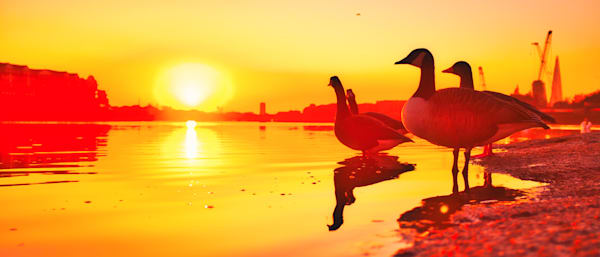 Land Of The Setting Goose Art   Martin Geddes Photography
