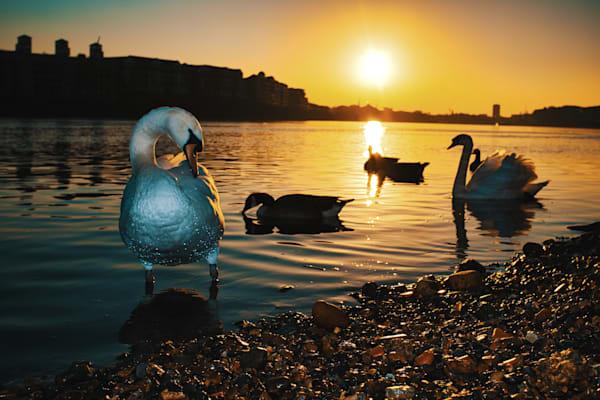 Swan Lakeless Art   Martin Geddes Photography
