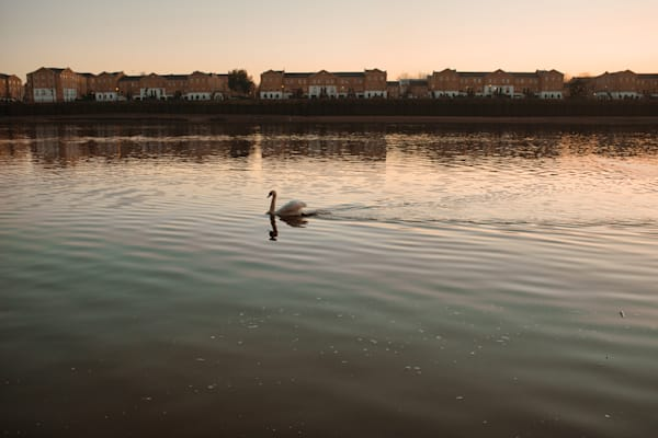 Rotherhithe Swan Art   Martin Geddes Photography