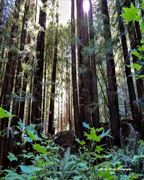 California Redwoods Photography Art | N2 the Woods Photography - Nature and Wildlife Artwork