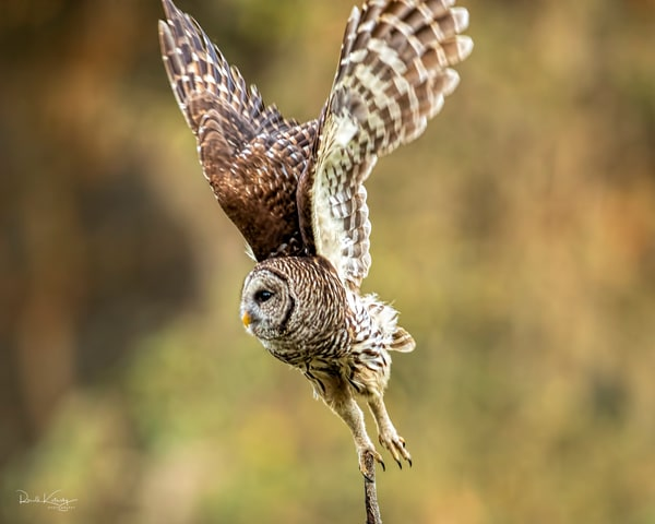 Wings Up! - Barred Owl