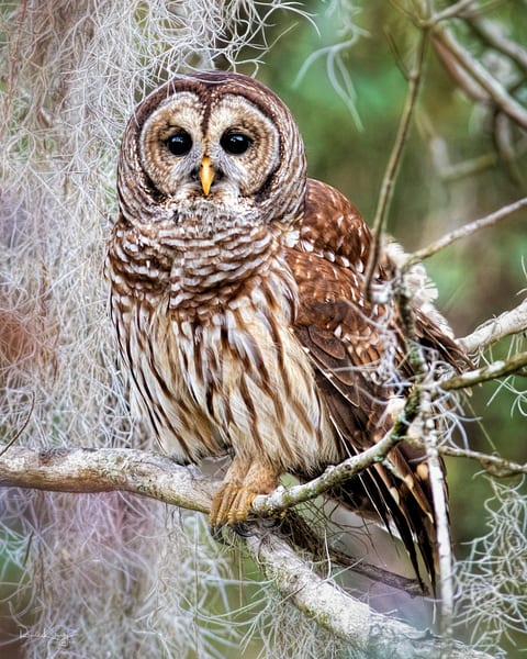 A Portrait of a Barred Owl 2