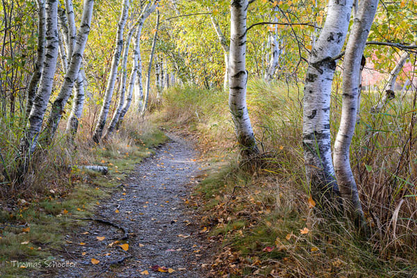 Peaceful Walking Path through a Birch Forest in Autumn | Fine Art Prints For Sale