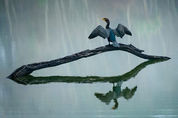 Double-crested Cormorant on a Foggy Morning