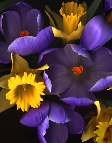 Daffodile Crocus Closeups Lrg1620 Fs Photography Art | Koral Martin Healthcare Art