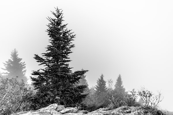 Photo To Buy: A Lone Pine Stands In The Mountain Mist