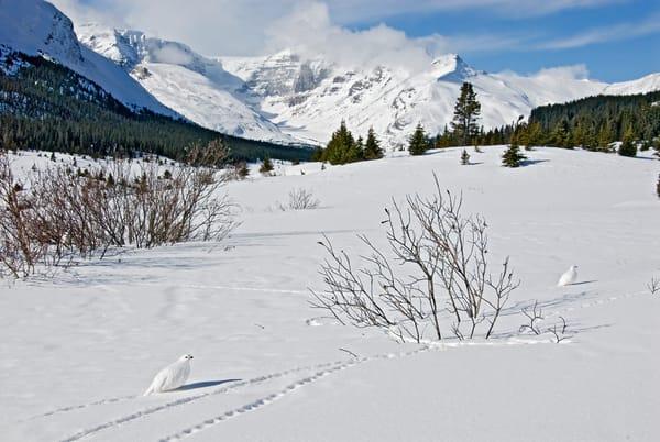 White-tailed Ptarmigan in winter, mountain setting