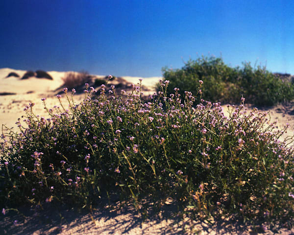Flowering Shrub - Oceano Dunes