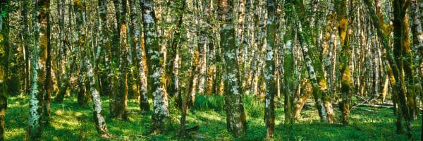 Fine Art Print | American Rainforest of a Red Alder Grove in stunning Pamoramic