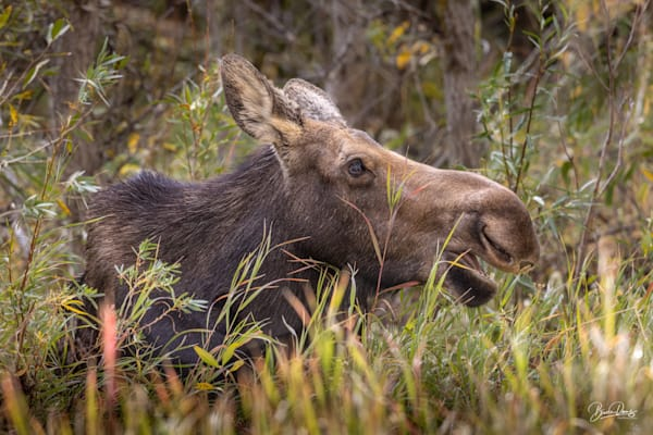 Moose Mother Up Close Art | brucedanz