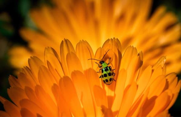 Beetle Of A Different Color Art | Karen Hutton Fine Art