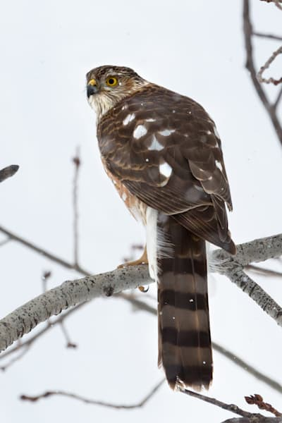 Sharp Shinned Hawk  # 2429 Photography Art   Mary Edwards Photography