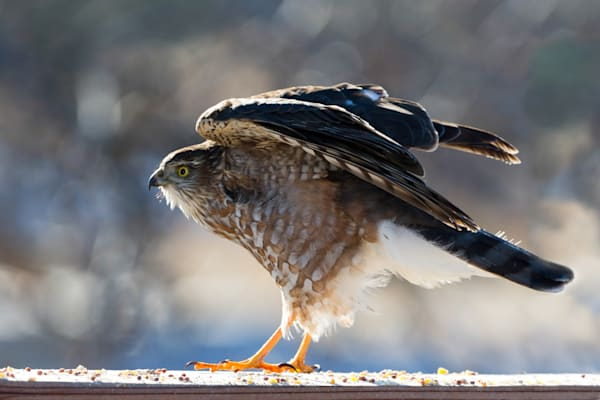 Sharp Shinned Hawk  # 1446 Photography Art   Mary Edwards Photography