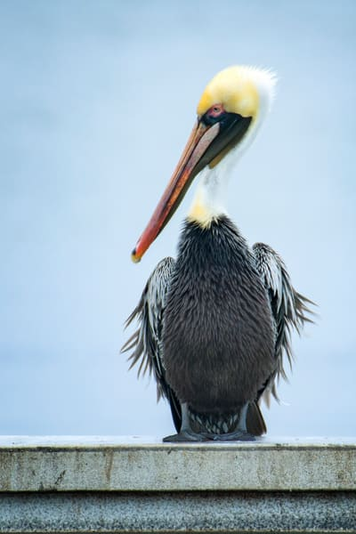 Brown Pelican in Profile on a Foggy Morning