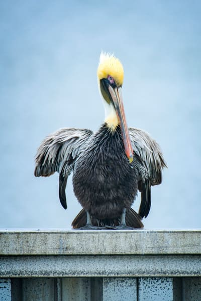 Brown Pelican Perched on Harbour Town Bulkhead