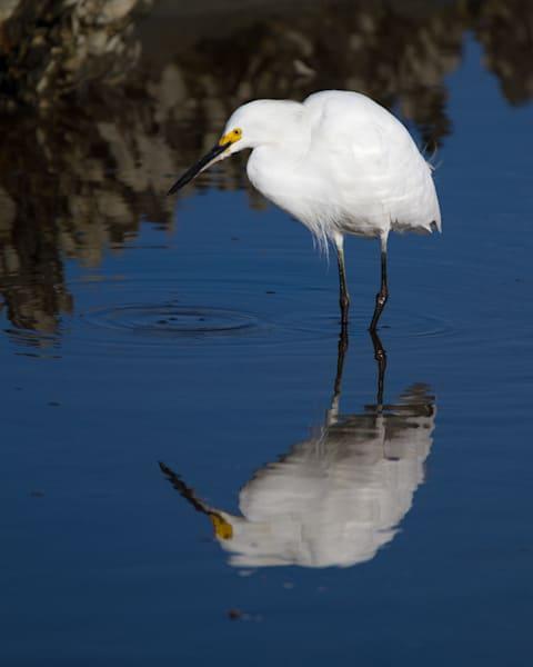 Snowy Egret Reflection Photography Art   Matt Cuda Nature Photography