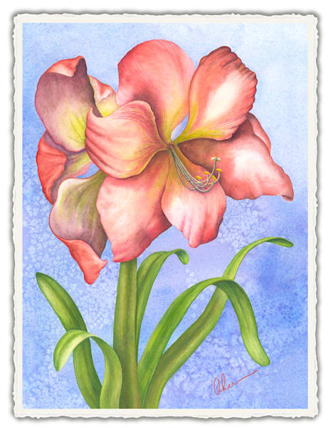 Hippeastrum - Amaryllis. Frameable Note Cards by the artist, Mary Ahern