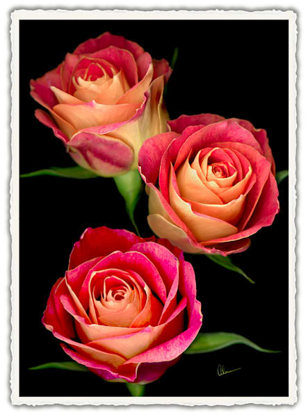 Triple Red Rose. Frameable Note Cards by the artist, Mary Ahern